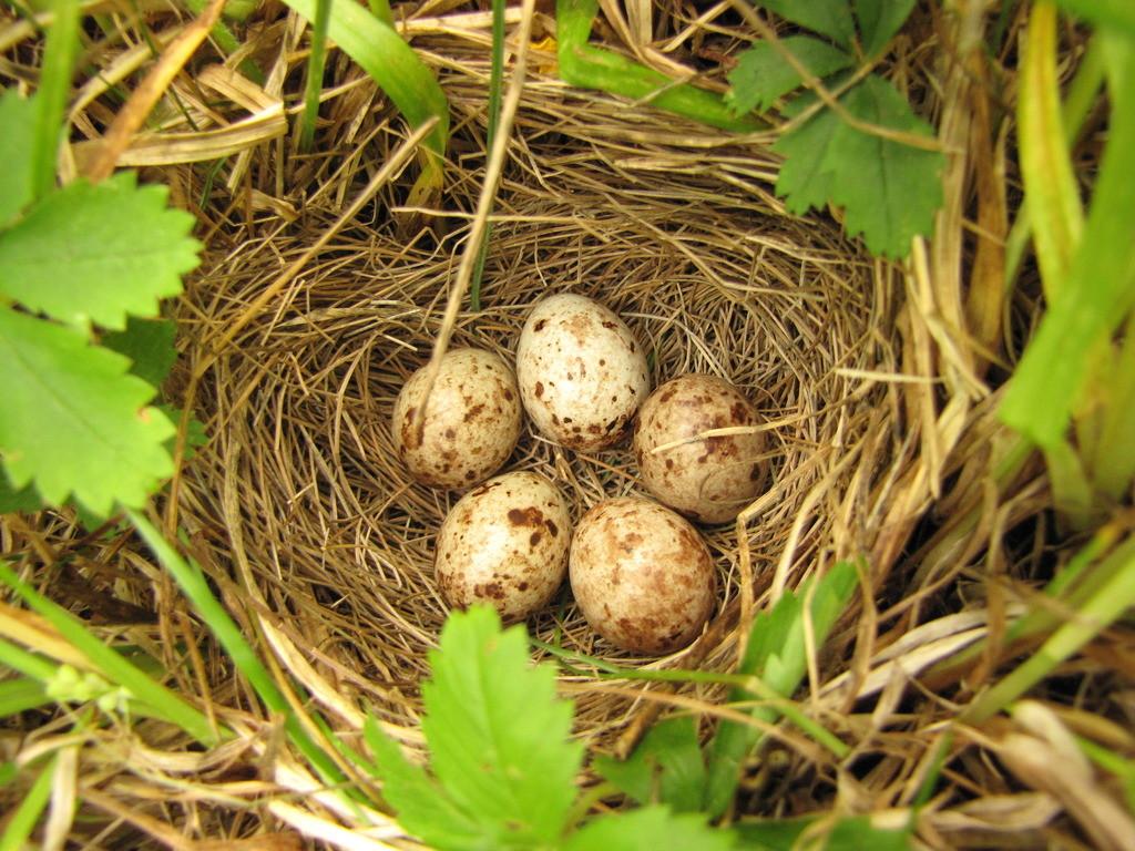 Bobolink eggs