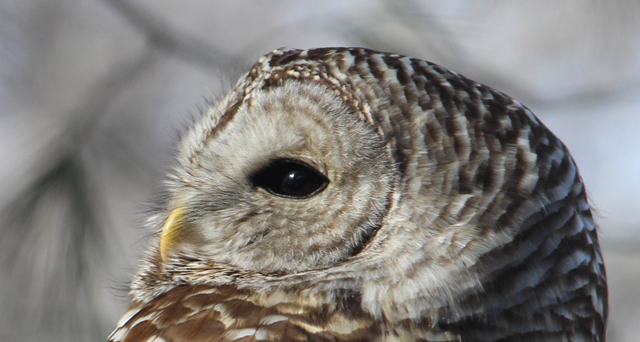 Barred owl © Robert Paterson