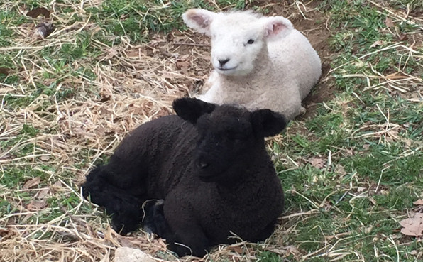Lambs at Drumlin Farm