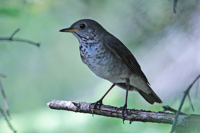 Bicknell's Thrush via Aaron Maizlish/Flickr