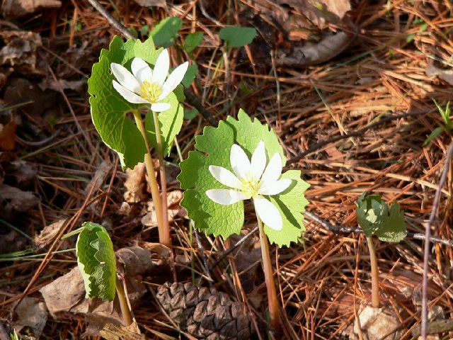 Bloodroot by Rene Laubach-640