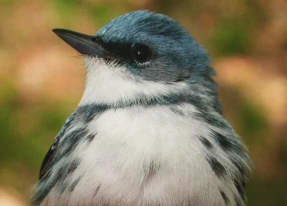 Cerulean Warbler via USFWS