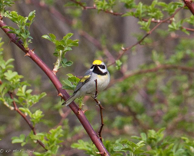 Golden-winged Warbler via Kent McFarland/Flickr