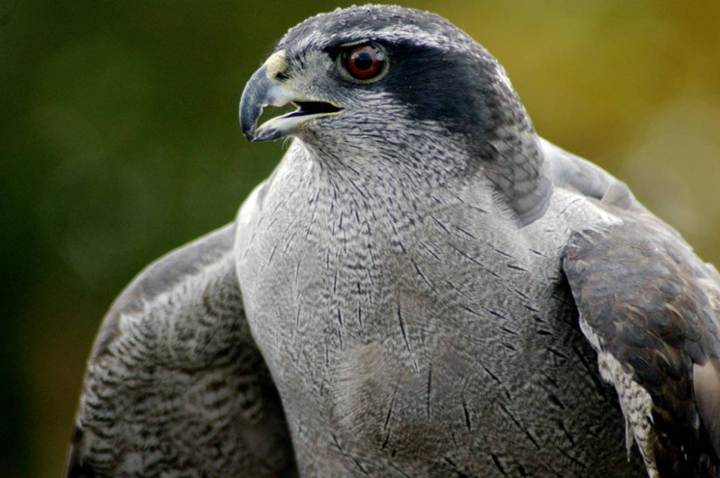 Northern Goshawk via USFWS