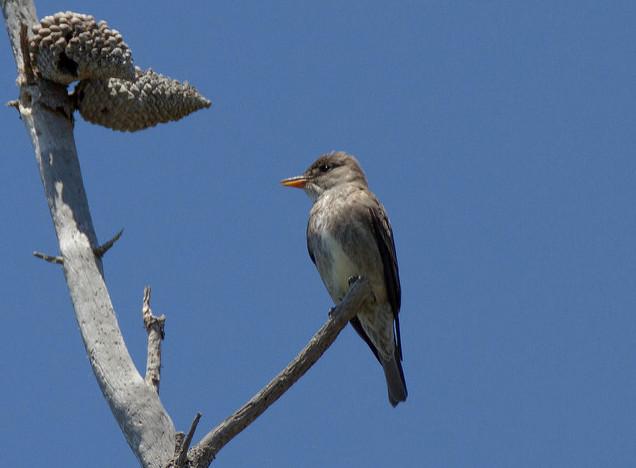 Olive-sided Flycatcher via Budgora/Flickr