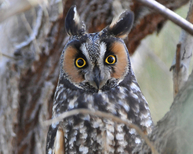 Long-eared owl via Matt Knoth/Flickr