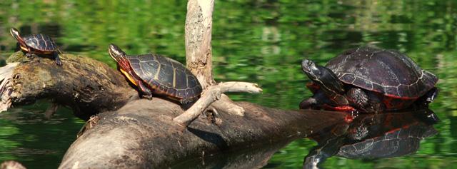 Painted Turtles © Dennis Durette