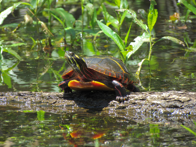 Painted Turtle © Ed Schmitt