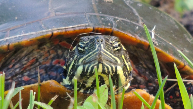Painted turtle © Mary Anne Doyle