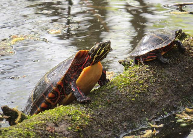Painted Turtles © Dick Hatfield