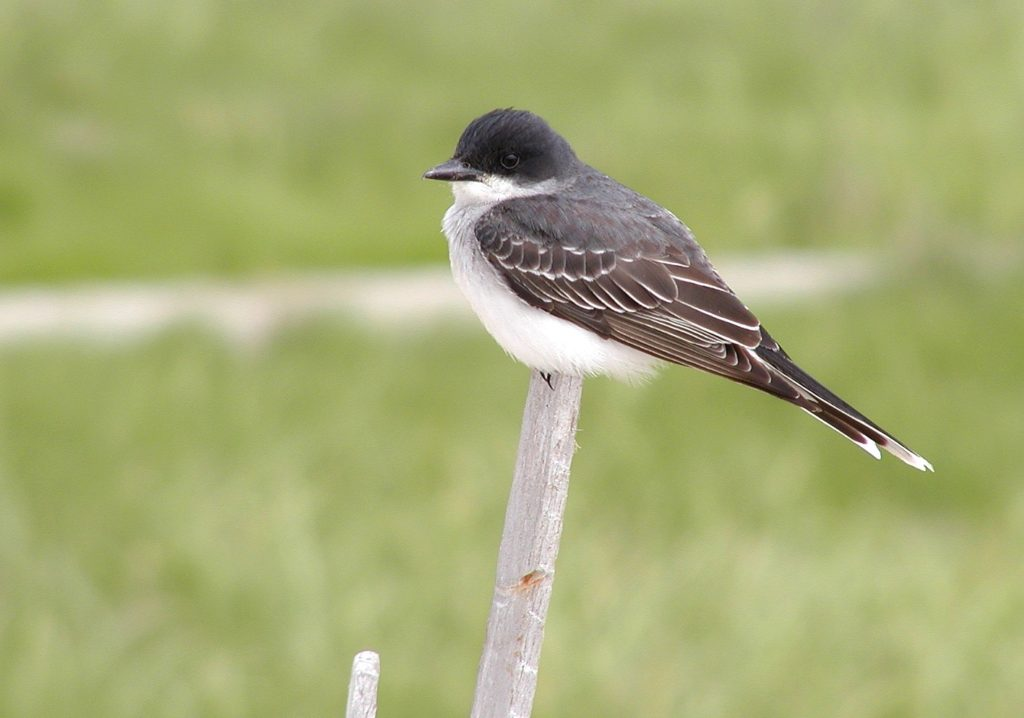 Eastern Kingbird via Richard Johnson