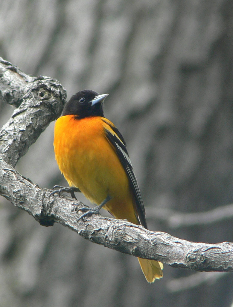 Baltimore Oriole via Richard Johnson