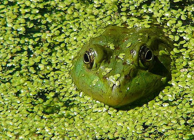 Bullfrog © Erika Whitworth