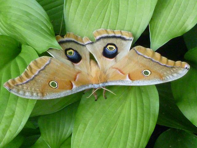 Polyphemus Moth (Antheraea polyphemus) © Nancy Rodriguez, Photo Contest 2012