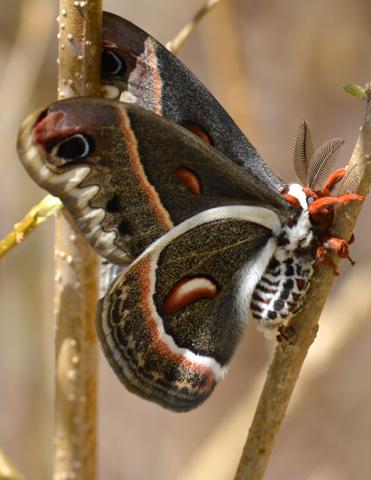 Cecropia Moth (Hyalophora cecropia) © Suzette Johnson, Photo Contest 2012