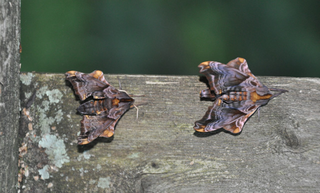 Small-eyed Sphinx Moths (Paonias myops) © Christine Silver, Photo Contest 2013