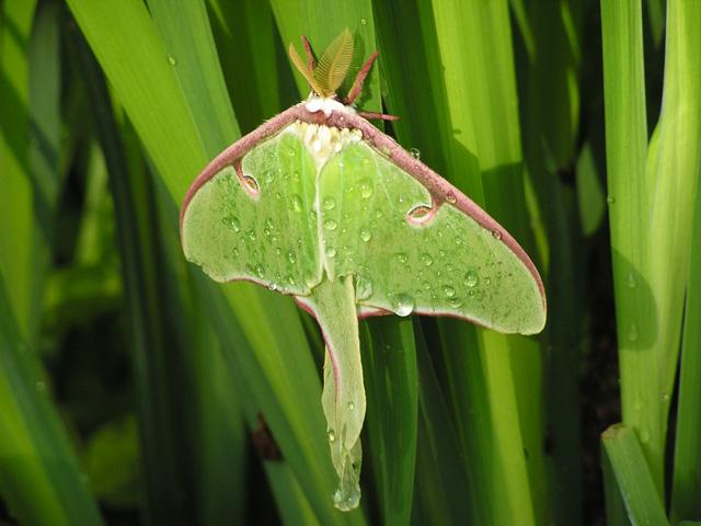 Luna Moth (Actias luna) © Jane Morrisson, Photo Contest 2014