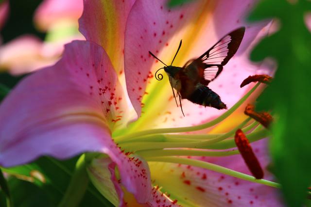 Hummingbird Clearwing Moth (Hemaris thysbe) © Jose Mendez, Photo Contest 2014