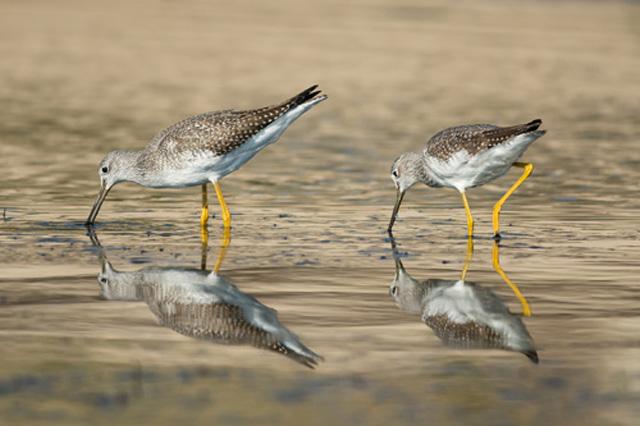 Greater Yellowlegs © Susumu Kishihara, Photo Contest 2015