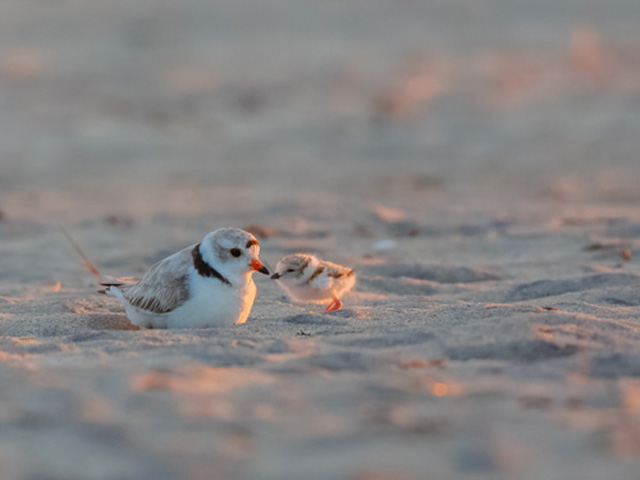 Piping Plovers © David Peller, Photo Contest 2014