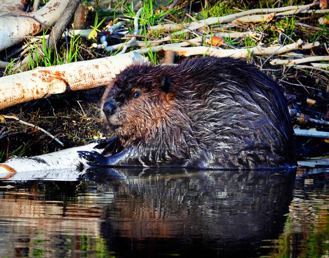 Beaver © Martin Espinola, Photo Contest 2013