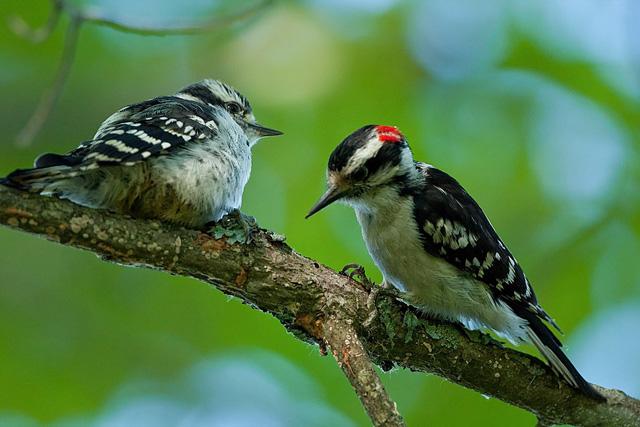 Downy Woodpecker © Jacob Mosser, Photo Contest 2013
