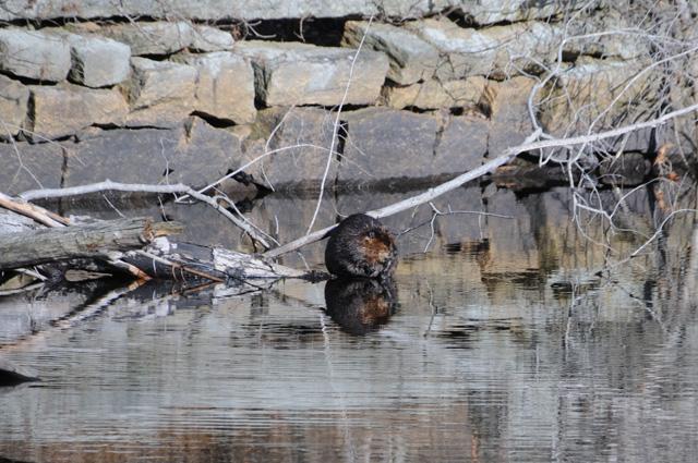 Beaver © John Kloczkowski, Photo Contest 2014