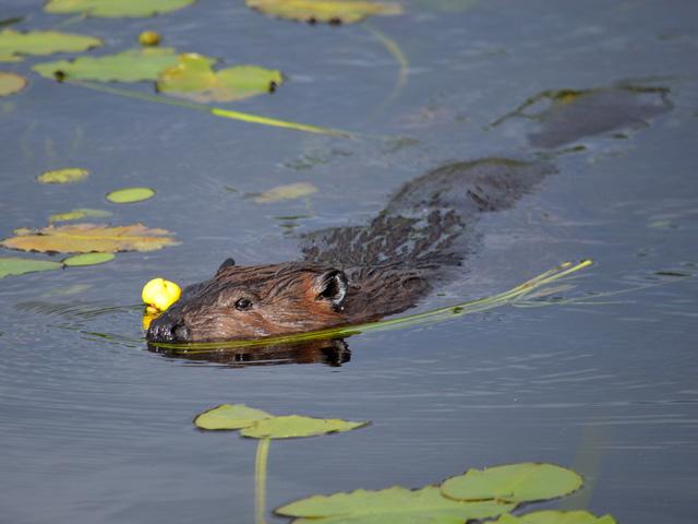 Beaver © Sandra Taylor, Photo Contest 2014