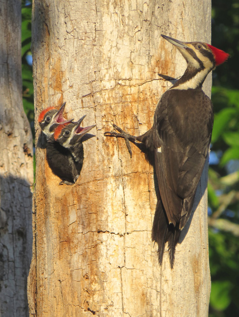 Pileated Woodpecker © Daniel Tracey, Photo Contest 2014