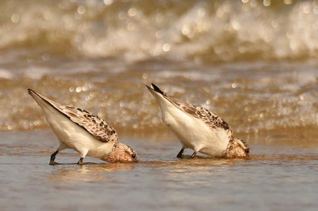 Sanderlings © Denise Hackert Stoner, Photo Contest 2015