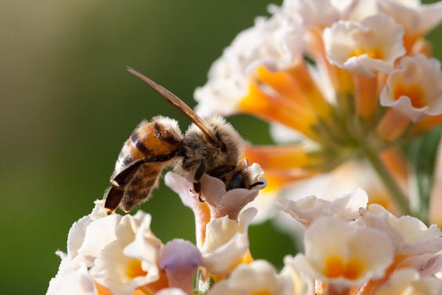 Honey bee © James Engberg, Photo Contest 2015