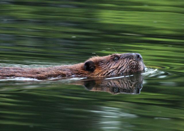 Beaver © Karen Riggert, Photo Contest 2015