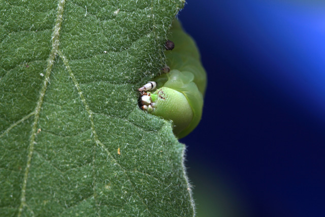 Very Hungry Caterpillar © Alyssa Mattei, Photo Contest 2015