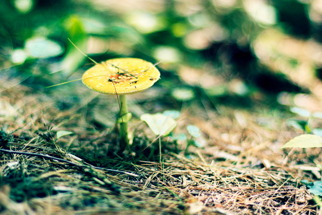 Amanita Flavoconia (fungi, mushroom) © Lena Mirisola, Photo Contest 2011