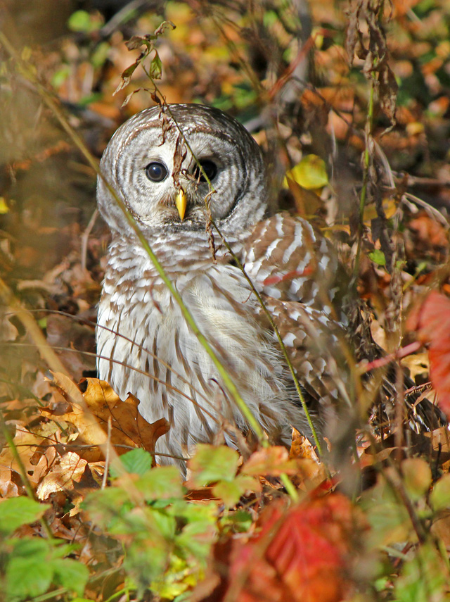 Barred Owl © Cheryl Rose, Photo Contest 2013