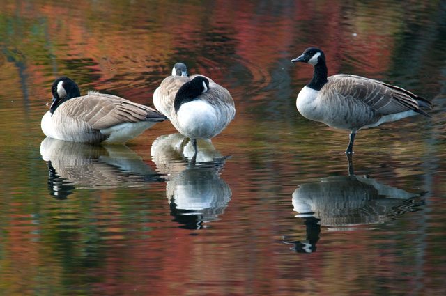 Canada Geese © Harold Dubnow, Photo Contest 2012