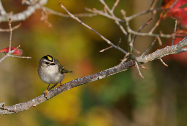 Golden-crowned Kinglet © Mary Keleher, Photo Contest 2013