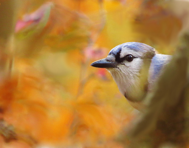 Blue Jay © Davey Walters, Photo Contest 2014