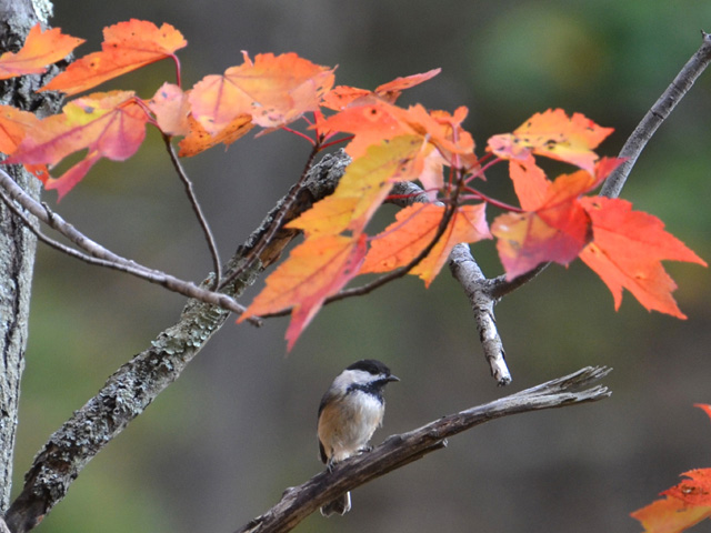 Black-capped Chickadee © Rich Lewis, Photo Contest 2014