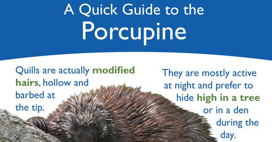 infographic_porcupine_560x292
