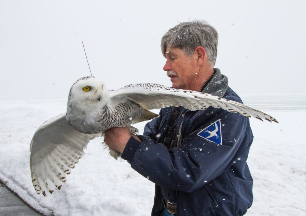 Norman Smith releasing a snowy owl photo © John Cole
