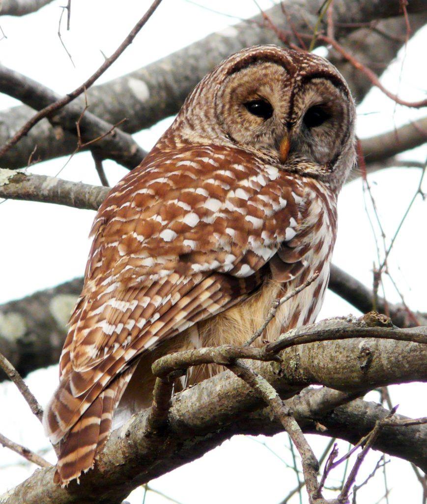 Barred Owl ©Rene Laubach/Mass Audubon