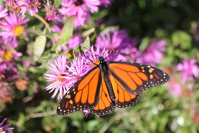 Monarch Butterfly spotted at the Stony Brook Butterfly Garden