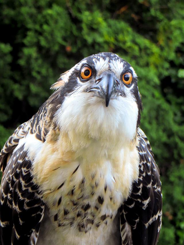 Osprey Close-Up © Carleen Loper