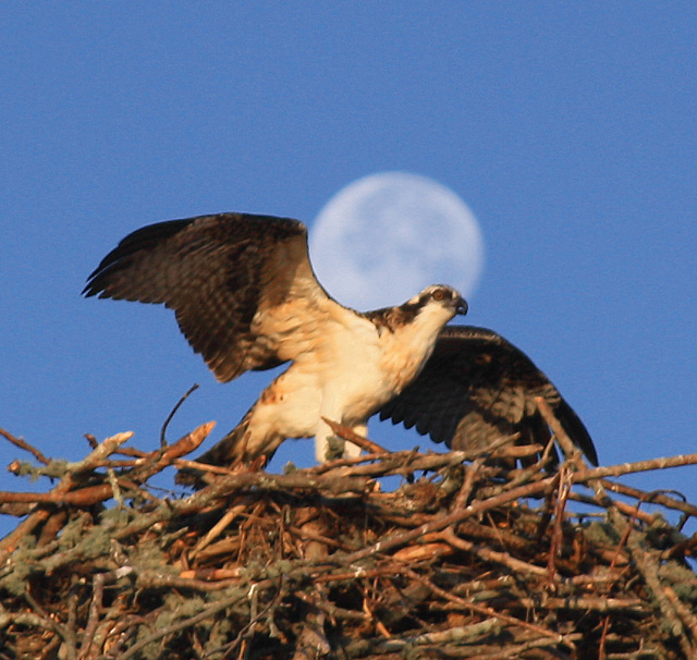 Osprey and Moon © Paul Rifkin