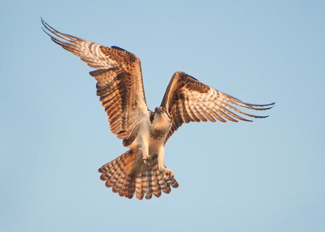 Osprey In Flight © Nathan Goshgarian
