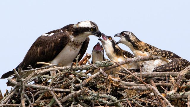 Osprey Feeding Chicks © Steve Flint