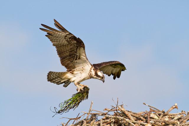Osprey Nest Construction © Linda Fuller