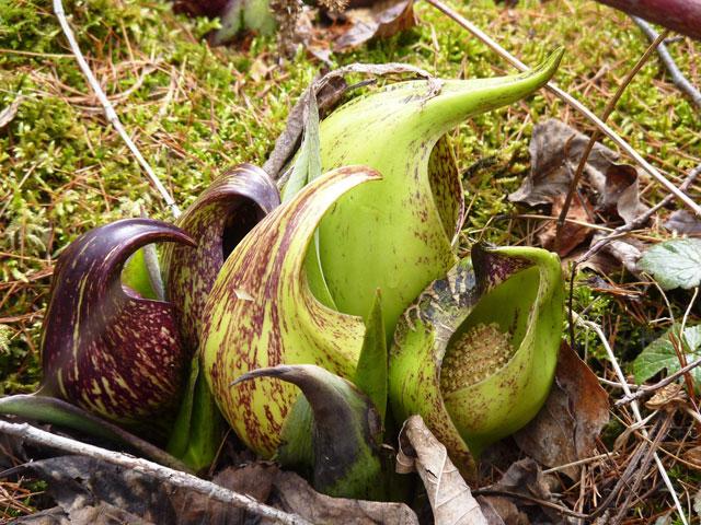 Skunk Cabbage © Mass Audubon/Rene Laubach