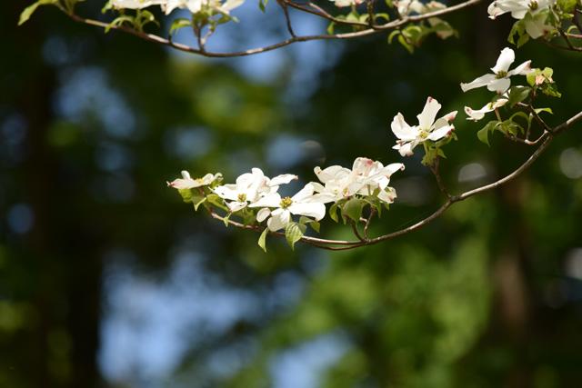 Flowering Dogwood © Mass Audubon
